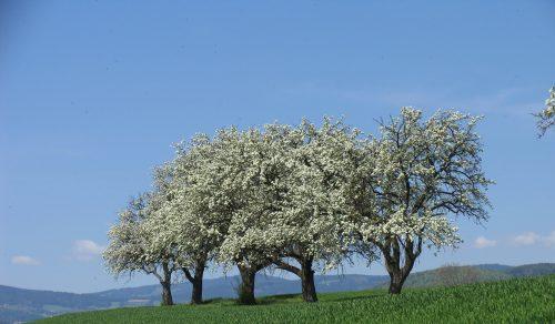 Hirschbirnbäume