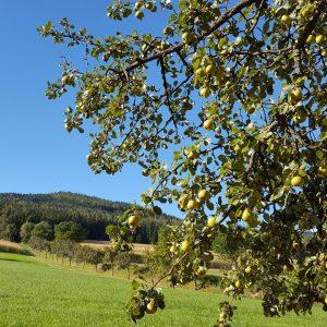 Hirschbirnbäume ©Christine_Schwetz