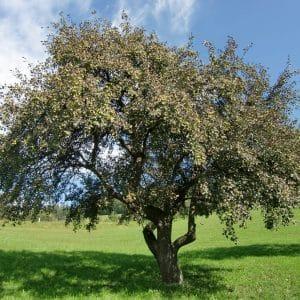 Hirschbirnbaum im Herbst © Markus Grasser