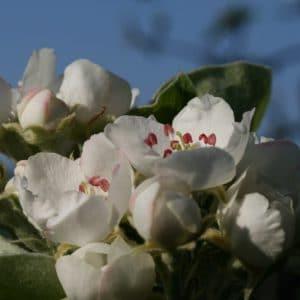 Hirschbirnblüte