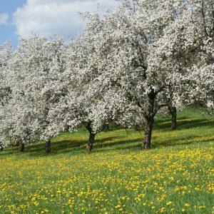 Hirschbirnblüten ©Franz Grabenhofer
