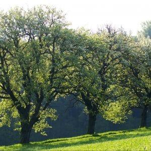 Hirschbirnbaum ©Rita Newman