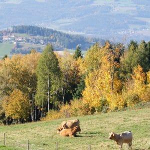 Kühe Landschaft_©Feriendorf Pöllauberg